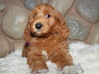 We will be having adorable Goldendoodle puppies around