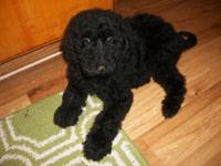 Beautiful F1B Labradoodle puppy; d/o/b 1/30/15. Black