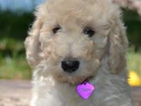 Ask anyone and they will tell you that the Labradoodle