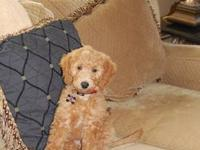 We had a beautiful litter of 8 Goldendoodle puppies!