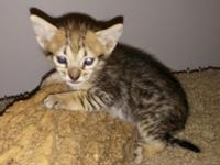 This F5 female Savannah kitty has a black nose, long