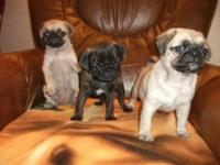 Beautiful fawn and platinum girls and boy for sale.