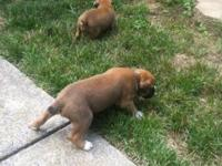 I have full blooded fawn male fighter puppies up for