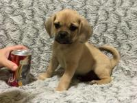 """Fletcher"" is a quality fawn male pocket Puggle. The"