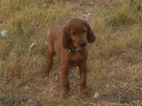 Beautiful Female AKC Irish Setter pup  very smart and