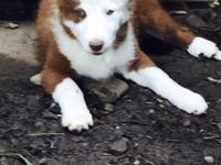 I have a female red and white border collie pup 100