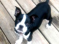I have a female Boston Terrier puppies for sale. She is