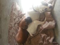 DaKota is AKC white and brindle boxer 4yrs old she was