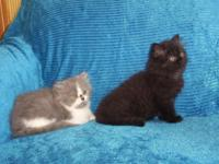 BEAUTIFUL CFA PERSIAN FEMALE KITTENS FOR SALE. WE
