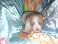 beautiful all white with fawn markings & spots with a