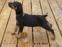 Shadow is a #4 Black/Rust Female Doberman. She is the