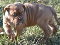 Beautiful Female Dogue De Bordeaux Ready from litter of
