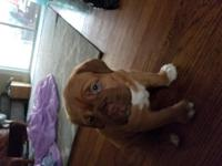 Beautiful female French mastiff for sell. Championship