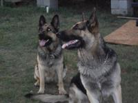 "Female German Shepherd OFA certified "" Excellent"". Ivy"