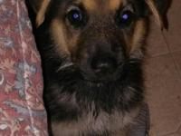 We have on beautiful German Shepherd puppy ready for