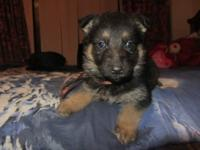 I have one female German Shepherd left out of a litter