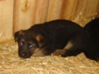 Red and black female puppy. Going to be a huge pet.