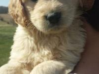 We are looking for a great home for our Goldendoodle.