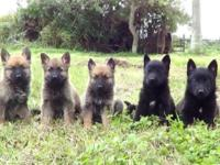 Imported lines Malinois from NVBK/KNPV/French Ring.