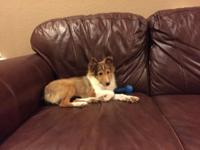 We have a beautiful female Sheltie that is 19 weeks