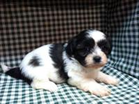 One beautiful female Shichons (Shih-Tzu/Bichon Cross)