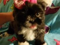 Beautifull 9 weeks old Female Shih Tzu ready to be re