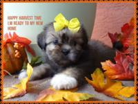 Uncommon puppy female shih Tzu. she has rare gray silky