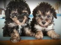 Absolutely beautiful female Full-blooded toy poodles.