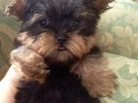 Beautiful female yorkie , ready for her new forever