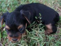 A really great colored yorkie female, black and gold.