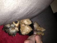 babe is a beautiful little female yorkie. she is very