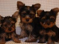 Five beautiful purebred female Yorkies. They are 10