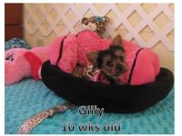 Female Yorkie 10 wks old $850 Sweet , furry and funny