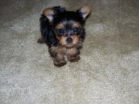 This Female Yorkshire terrier is merely Beautiful. She
