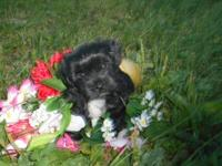 This little girl is a Shorkie Poo. She is 1/4 Shih Tzu,