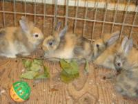 Baby F1 Lionhead bunnies!!! These babies are all single