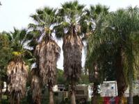 15 Very tall Beautiful Palm Trees. The majority are