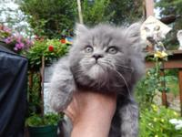 BEAUTIFUL FLUFFY HIMALAYAN/MAINE COON KITTEN.VERY EASY