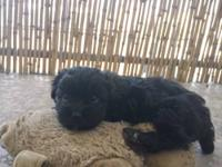 Beautiful Malshi puppy!! All Black with a White