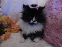 Gorgeous Fluffy little princess persian girls These
