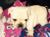 Beautiful AKC French Bulldog- Fawn Male, born February