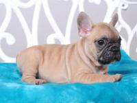 Meet Ralf! He is a super cute french bulldog who is up