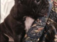 Awesome female frenchton pup. Fully updated on shots
