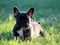 Bentley is an amazing French Bulldog puppy,very nice