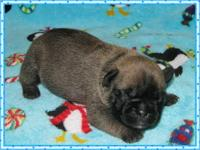 French Bulldog Puppies. We have 2 males and two ladies.