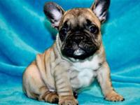 Beautiful healthy French bulldog puppies! Excellent