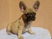Beautiful French Bulldog girls for sale!. These little