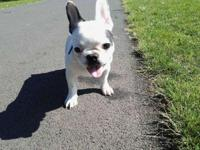 Beautiful french bulldog puppies for sale looking for