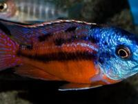 Stunning in Color Freshwater fish and 55 gallon Tanks