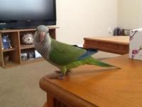 Lovely Quaker parrot vivid green color. I believe this